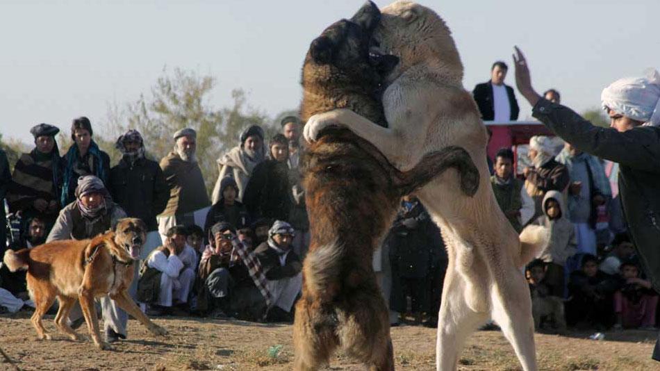 عکس سگ جنگی افغانی